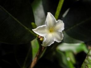 69 - Mascarenhasia arborescens