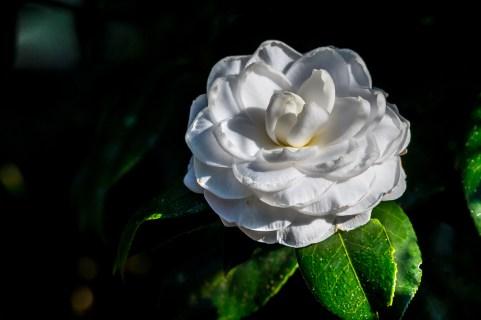 05 - Camellia japonica