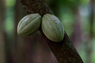 58 - Theobroma cacao