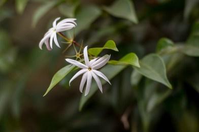 67 - Jasminum laurifolium