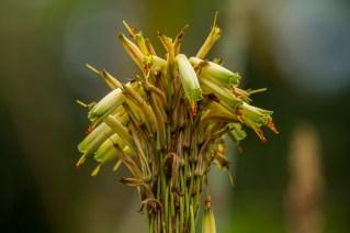 12-Aloe hibrido de espécies parentais desconhecidas.