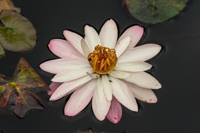 14-Nymphaea rubra