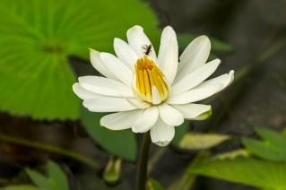 29-Nymphaea lotus
