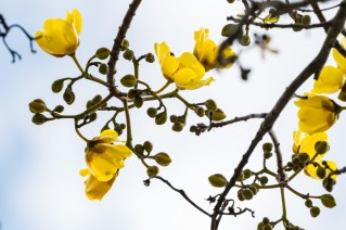 32-Cochlospermum vitifolium