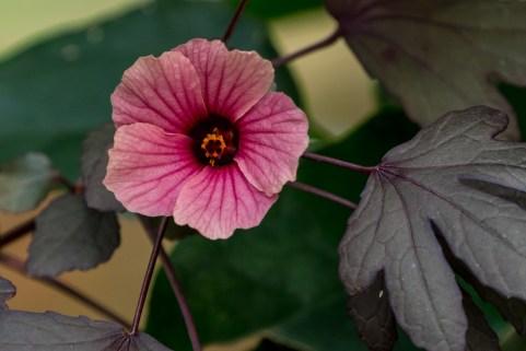 38-Hibiscus-acetosella-vinagreira
