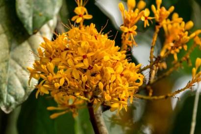 45-Saraca thaipingensis