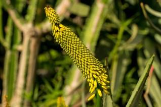 23 - Aloe succotrina