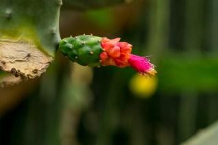 30 - Opuntia brasiliensis