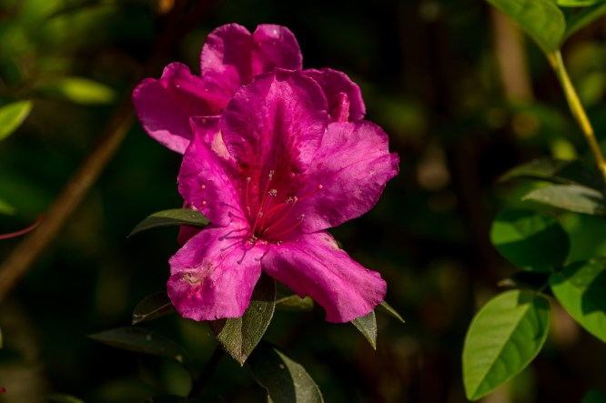 37 - Rhododendron simsii