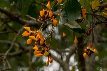 66 - Erythrina fusca