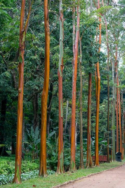 68 - Calycophyllum spruceanum