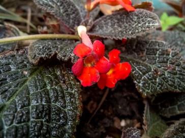 14 - Episcia cupreata
