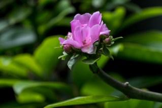 23 - Pereskia grandiflora