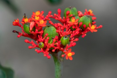 24 - Jatropha podagrica