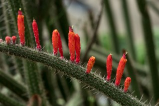 25 - Cleistocactus baumamii