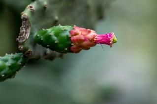 28 - Opuntia brasiliensis
