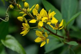 36 - Galphimia brasiliensis