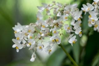 43 - Begonia reniformis
