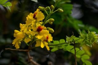 44 - Pau brasilia echinata