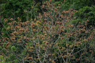 47 - Cavanillesia umbellata 1