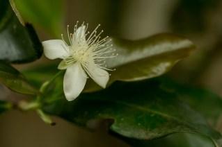 48 - Eugenia brasiliensis