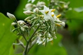 51 - Solanum tortum