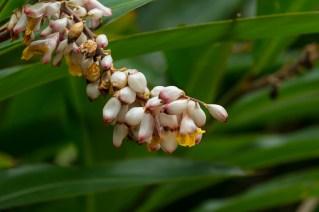 58 - Alpinia zerumbert
