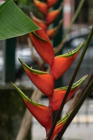 64 - Heliconia bihai