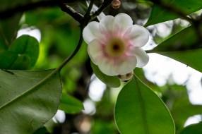 68 - Clusia grandiflora