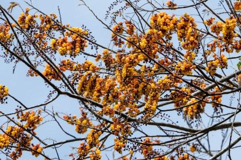 74 - Cassia moschata