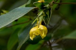77 - Gmelina asiatica