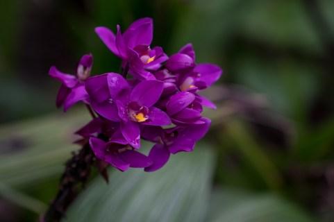 08 - Spathoglotis unguiculata