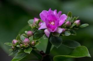 14 - Pereskia grandiflora