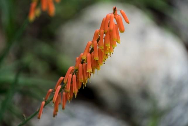 17 - Aloe flor de laranja