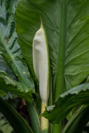 29 - Typhonodorum lyndeyanum