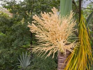 51 - Roystonea oleraceae