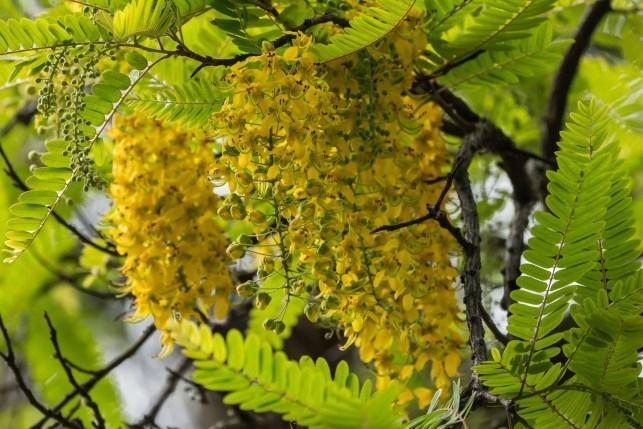 53 - Cassia ferruginea