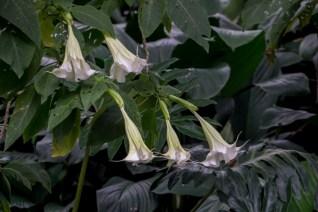 74 - Brugmansia suaveolens