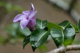 89 - Cryptostegia grandiflora
