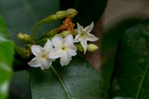 90 - Mascarenasia arborescens