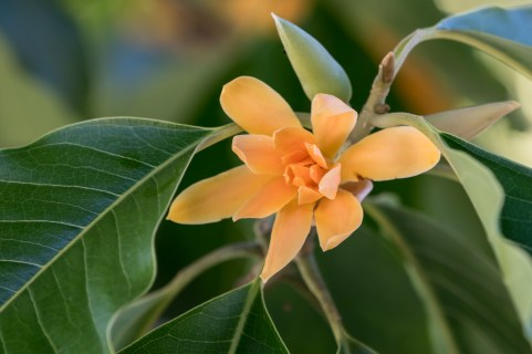 46 - Magnolia champaca