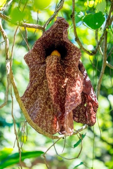 50 - Aristolochia gigantea