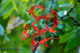 04 - Amherstia nobilis