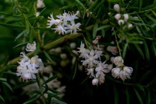12 - Asparagus densiflorus