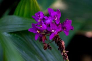 19 - Orquídea grapete