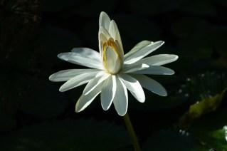 29 - Nymphaea lotus