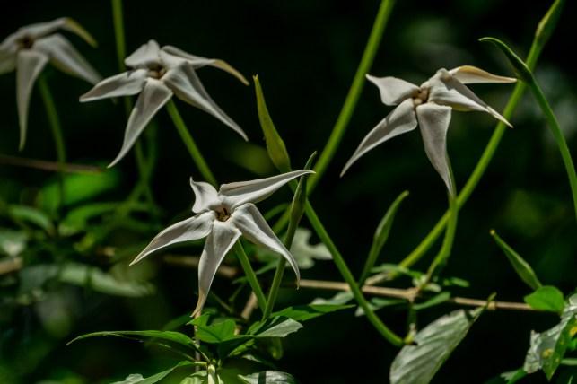01 - Rosenbergiodendron formosum