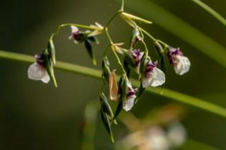 30 - Thalia geniculata