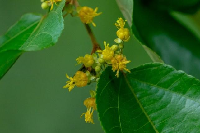 44 - Guazuma ulmifolia