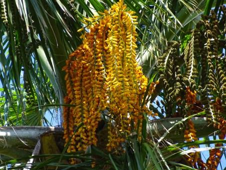 72 - Mauritia flexuosa